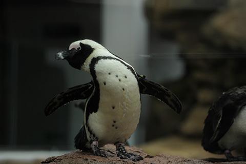ペタペタペンギン