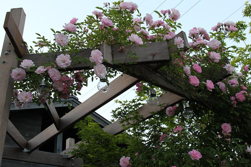 我が家のつるバラ~春がすみ。