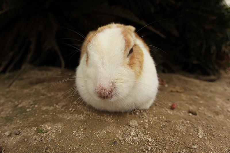 大久野島「ウサギ島」に行ってきました。